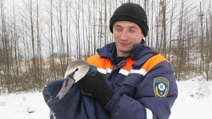 На брянском озере спасли от замерзания лебедя с поломанным крылом