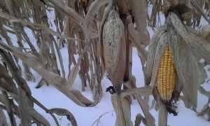 Брянцы начали экзотический этап уборки кукурузы под снегом