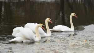 На Брянщине пересчитали зимующих уток и лебедей