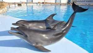 Брянцев потрясли издевательства над дельфинами