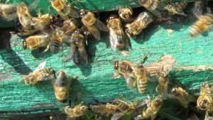 Пчелоненавистник уничтожил целую пасеку