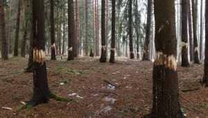 Загадочный человек с топором уничтожил прекрасный брянский лес