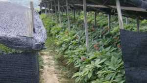 В Брянской области будут выращивать подорожник и женьшень для Китая