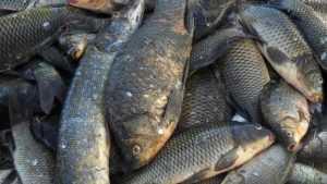 Отчего дохнет рыба в российских водоемах?