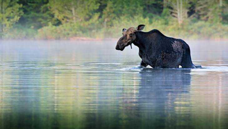 В брянских лесах насчитали 3761 лося, 8366 косуль и 1437 оленей