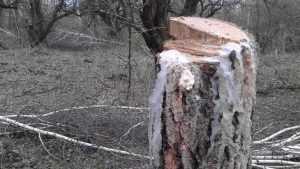 Брянские березы ледяными слезами оплакали сад с криминальным прошлым
