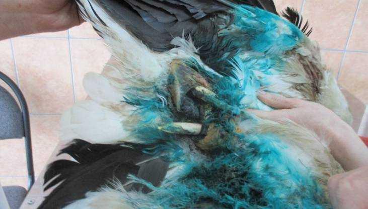 Расстрелянному дикарями аисту брянские ветеринары отрезали крыло