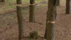 Невменяемый брянец под Унечей топором изуродовал 300 елей