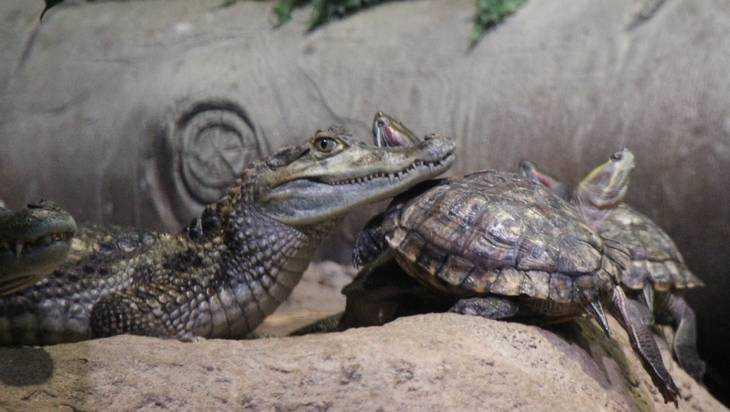 Брянцам показали душевную дружбу крокодила и черепахи