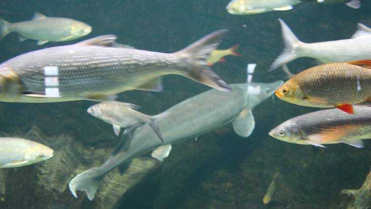В курских водоемах придется выловить всю рыбу