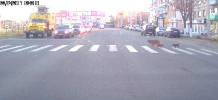 Видео о собаке с щенками на пешеходном переходе покорило брянцев