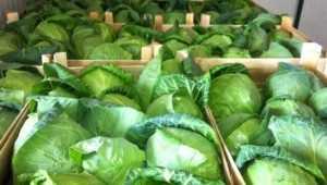 Брянцы вернули в Македонию 17 тонн сомнительной капусты