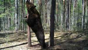 В заповеднике «Брянский лес» сняли двухметрового медведя-великана