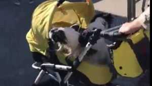 В Брянске сняли видео перевозки собак в детской коляске