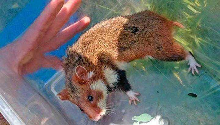 Брянские зоологи заинтересовались курским хомячком