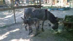На дне рождения брянского зоопарка выберут имя для новорожденного ослика