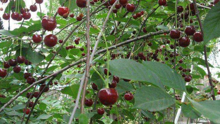 Ночные морозы уничтожили у брянцев три четверти фруктов и ягод
