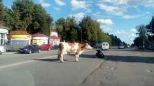 Брянец сделал фото коров, отдыхавших на площади в центре Дятькова
