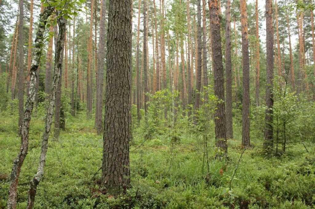 В брянском лесу скончался 73-летний грибник