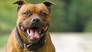 В Брянске будут судить мужчину, натравившего бойцового пса на незнакомца