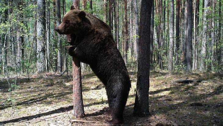 В брянском лесу сняли на видео медведя-великана