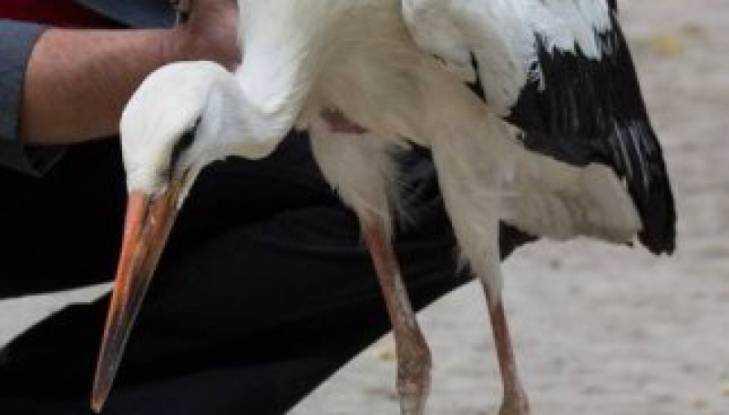 В Брянске ветеринары спасли аиста со сломанной ногой