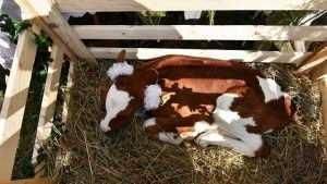 Брянский губернатор подарил многодетной семье теленка