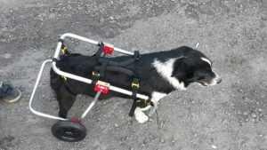 Отзывчивые брянцы приобрели для покалеченной собачки коляску