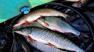 Брянского браконьера оштрафовали на 25 тысяч за добычу рыбы огромными сетями
