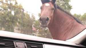 Игривая лошадь довела брянского водителя до полуобморочного состояния