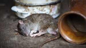 В Новозыбкове мужчину покусала крыса