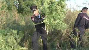 Под Брянском сотрудники полиции сожгли 200 кустов конопли