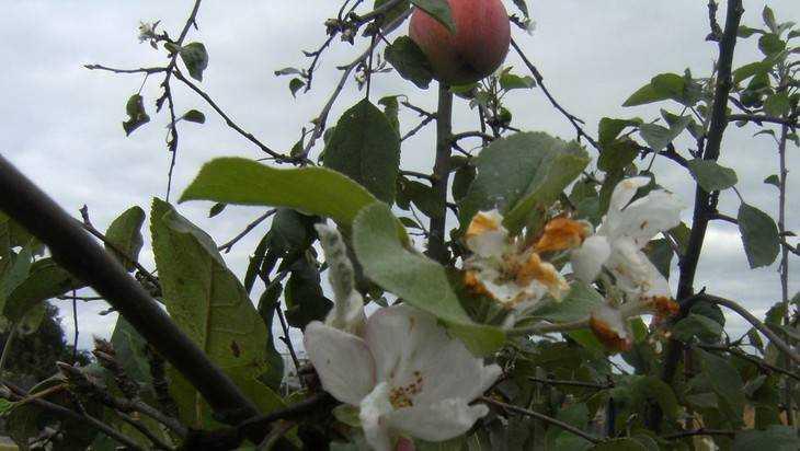 Диво дивное: в брянском саду зацвела яблоня со спелыми яблоками