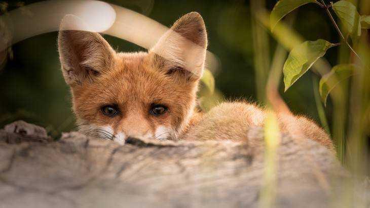 На жителей Почепского района напали бешеные лисы