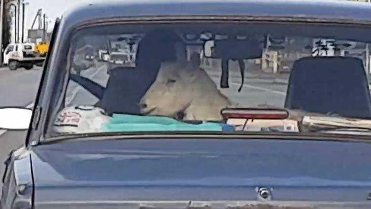 Брянцы сняли веселое видео о грустной козе в салоне легковушки