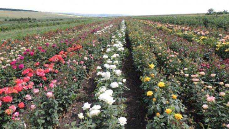 Брянский край стал оазисом для роз