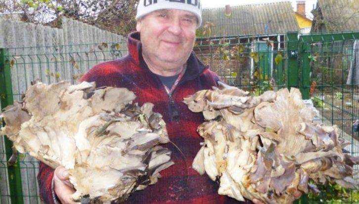 Брянский грибник удивил 12-килограммовым кустом вешенок