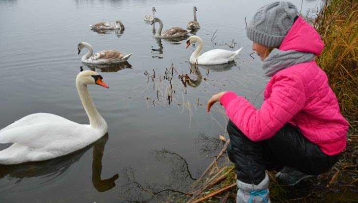 Брянец попросил спасти от морозов лебедей с озера в Любохне