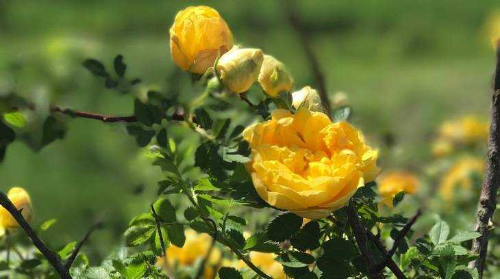 Брянцы уничтожили 1600 саженцев роз, привезенных с Украины