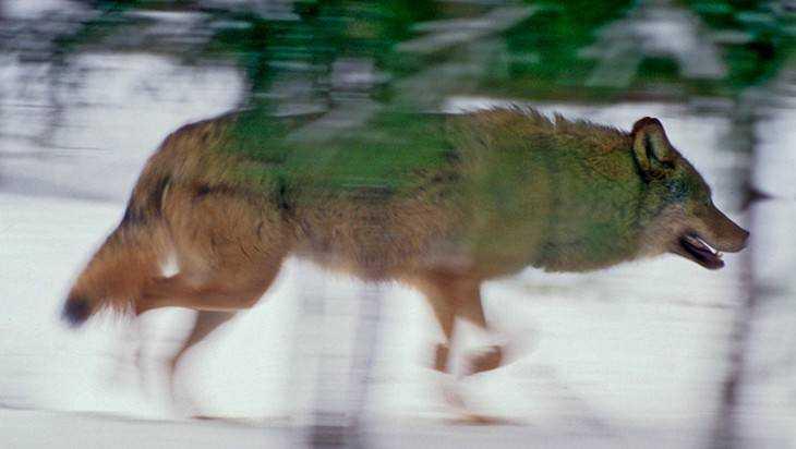 В Климовском районе охотники застрелили за год 18 волков