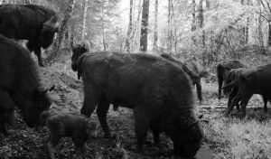 Пять новорожденных самок укрепят популяцию зубров в «Брянском лесу»