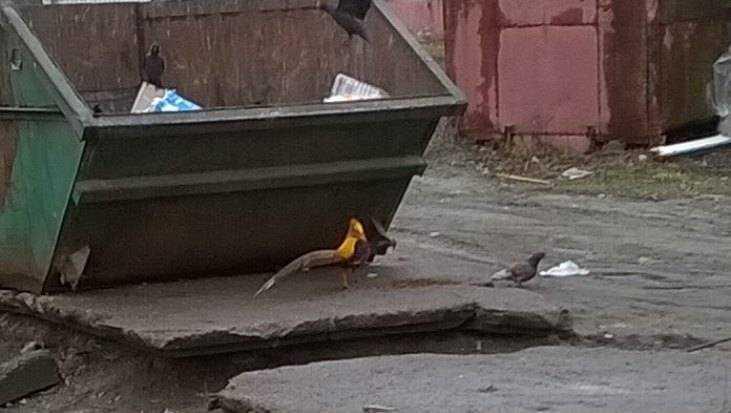 В Брянске заметили дивную жар-птицу возле мусорных баков