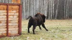 В «Брянский лес» привезли 11 зубров из Подмосковья