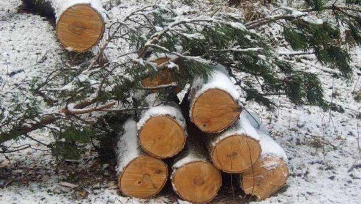 В Клинцовском райне «чёрные» лесорубы уничтожили 3 сосны