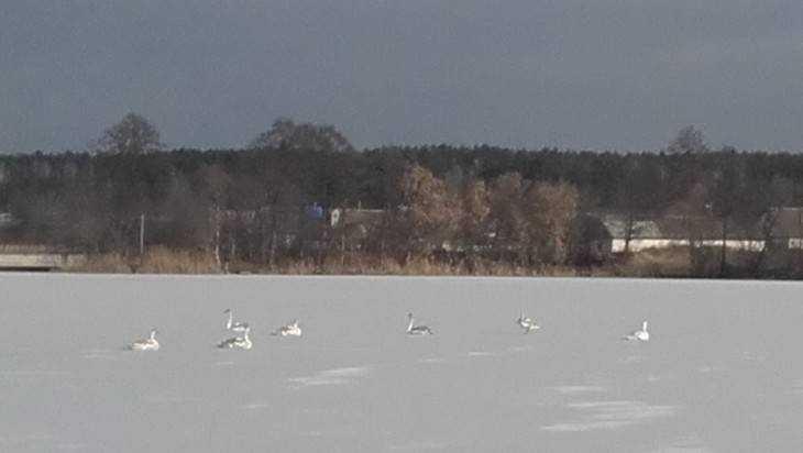 На брянском озере 16 лебедей попали в ледяной плен