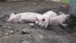 Брянским крестьянам рекомендовали отказаться от свиней