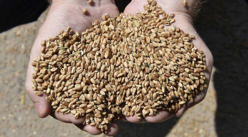 За границу ушло 117 тысяч тонн брянского зерна