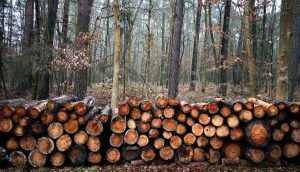 В Клинцах с женщины и лесника взыскали 1,6 млн за вырубку деревьев