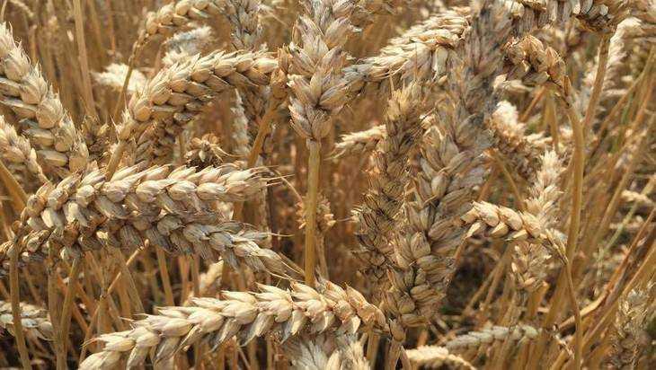 Зерно из Гордеевского района стали покупать белорусские пивовары