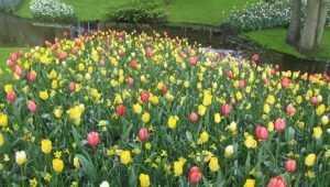 Для брянских женщин к 8 марта соберут 7 тысяч тюльпанов